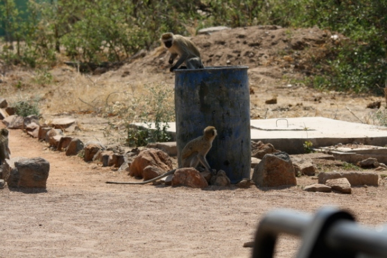 De aapjes komen een pintje drinken.